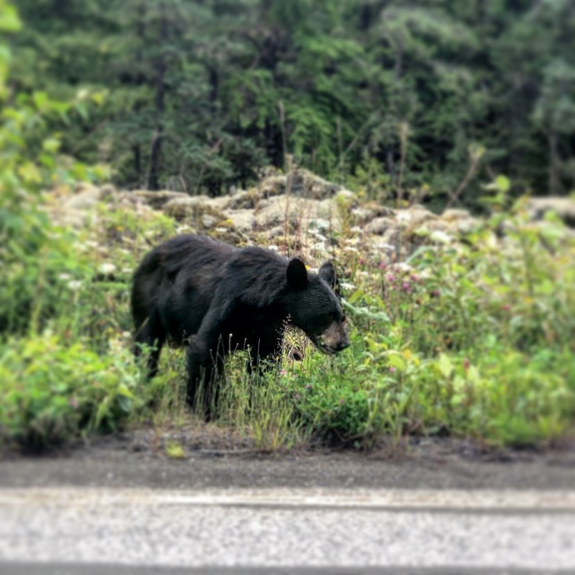 Spottes this bear on the Nisga'a highway.  Can't wait to see Pam's photos.