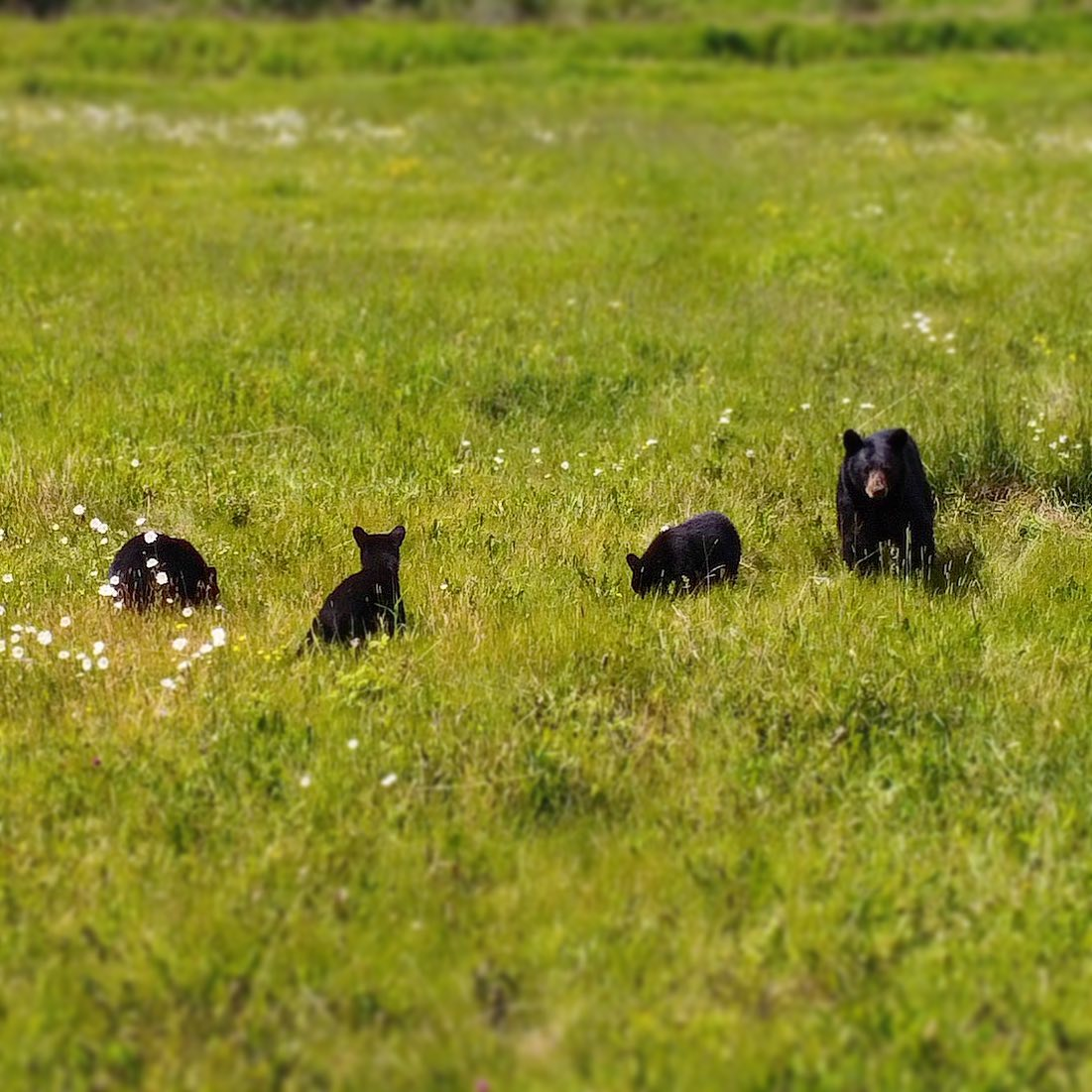 Black bear and 3 cubs near Topley, BC.