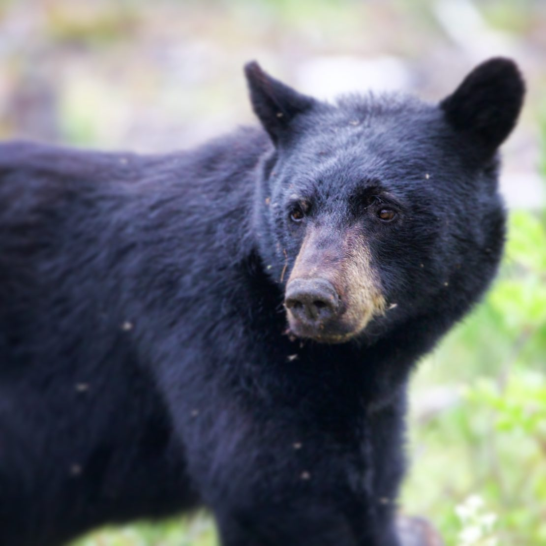 Here I am making boring YouTube videos, and Pam is taking photos of this guy.  He's the *10th*  black bear Pam has photographed in the last 5 days.  This guy was in Rosswood, BC on the Nisga'a highway.